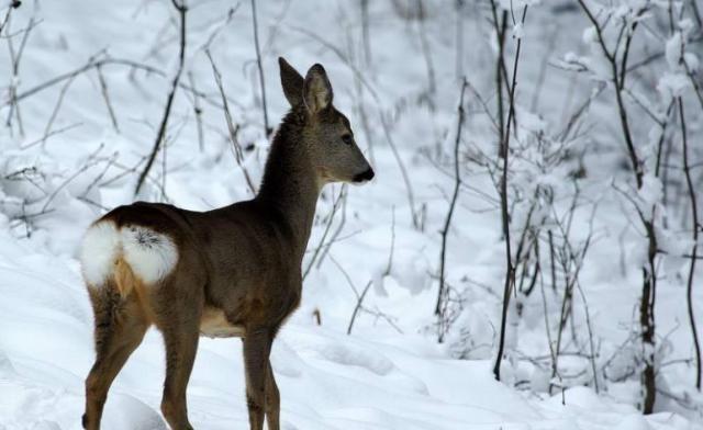 Prekinuta lovna sezona: Snijeg donio mir za divljač