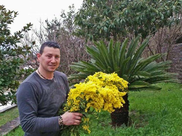 Okasnio cvijet zbog hladnoće: Dadove mimoze tek počele da žute