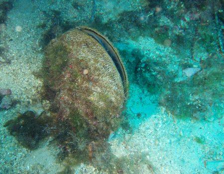 Palasture, simbol Mediterana, u velikoj su opasnosti