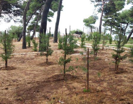 Lijep primjer: Pošumljena borova šuma u Ulcinju