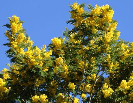 Odložena izložba cvijeća na Prazniku mimoze