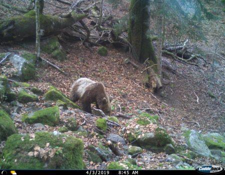 Divlji svijet naše Biogradske gore: Snimljen novi medvjed