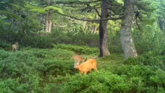 Lijep i rijedak snimak divljači na sjeveru