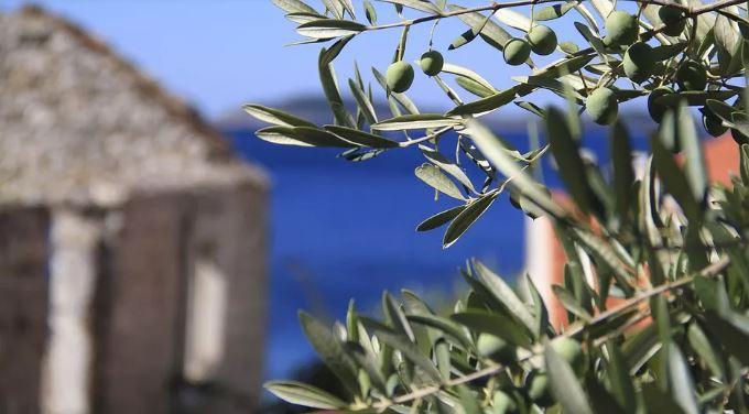 Mala fešta od masline i vina u Tivtu 19.maja