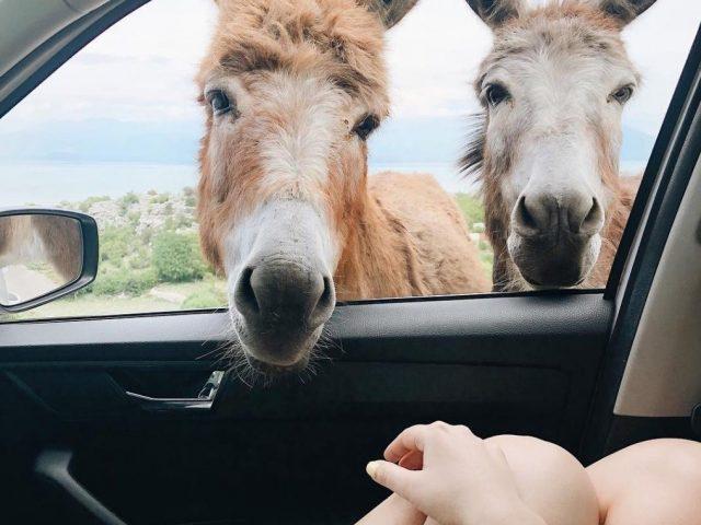 U petak otvaranje Muzeja magaraca!