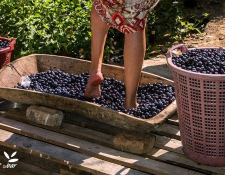 Počela berba: Održan prvi Festival grožđa u Crmnici