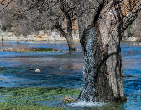 Da li ste znali za neobično drvo iz kog izvire voda?
