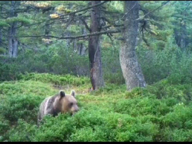 Divlja priroda Hajle: Čekajući risa, pojavio se medvjed