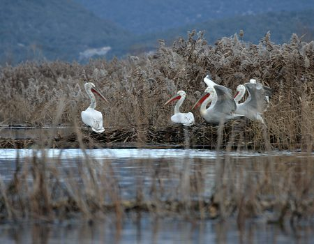 Ove godine nova 73 pelikana na Skadarskom jezeru