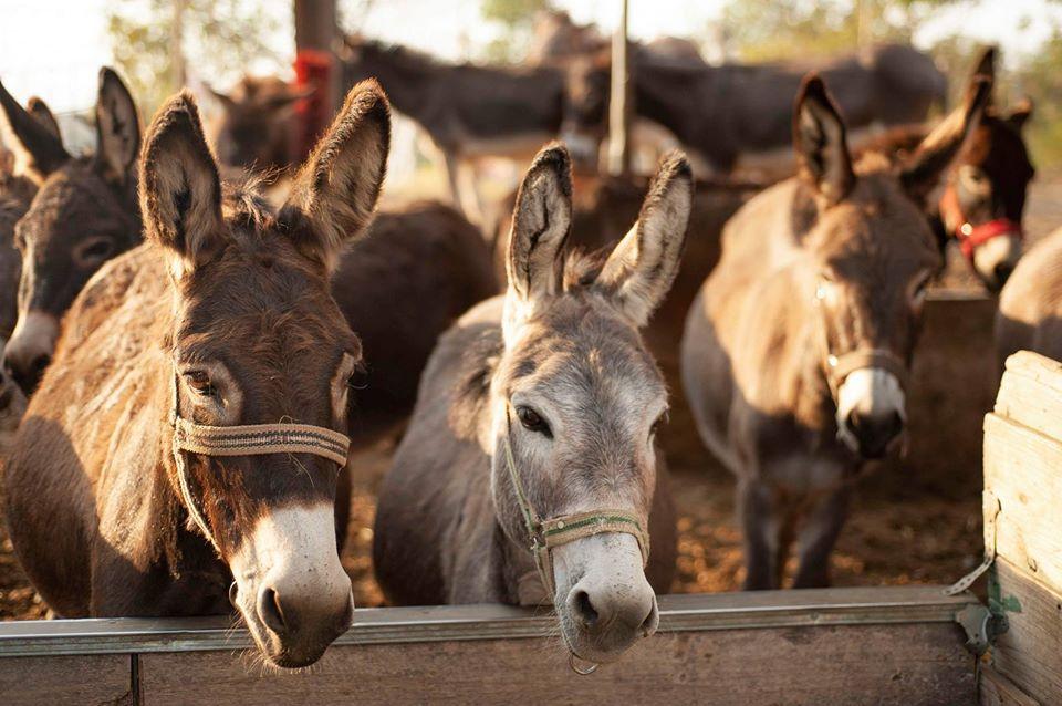 U nedjelju pođite na jedini bal s magarcima na planeti!