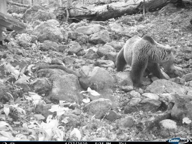 Mrki medvjed često posjećuje hranilište u NP Biogradska gora