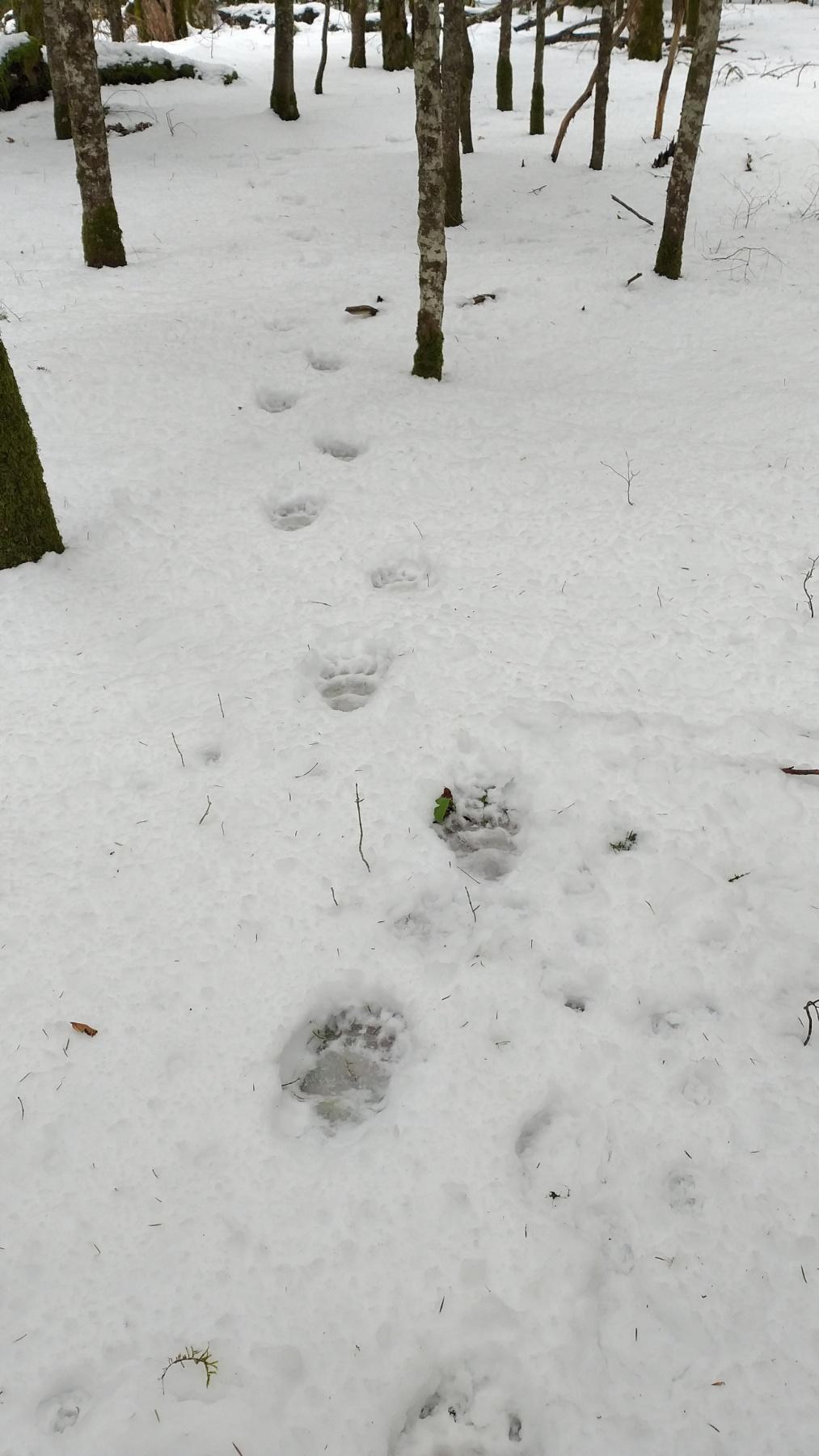 Tragovi medvjeda u bližoj okolini Biogradskog jezera