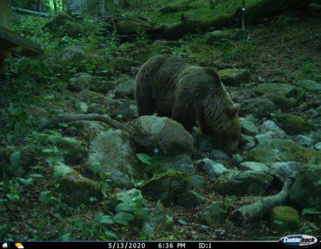 Biogradska gora: Mrki medvjed u potrazi za hranom (VIDEO)