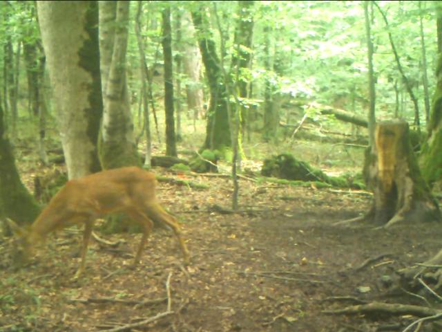 U Biogradskoj gori snimljeni jelen i srna