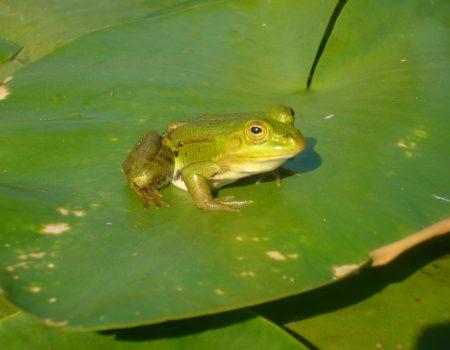 Skadarska žaba na 28 lokacija duž obale Skadarskog jezera