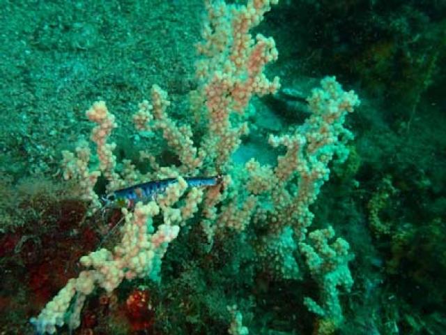 Započelo istraživanje i promocija koralnih zajednica u Boki