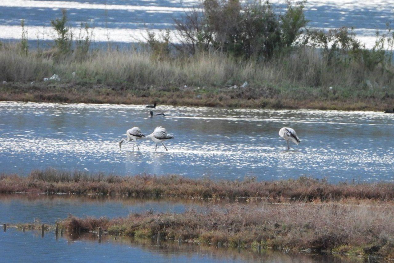 Flamingosi stigli na tivatska Solila!