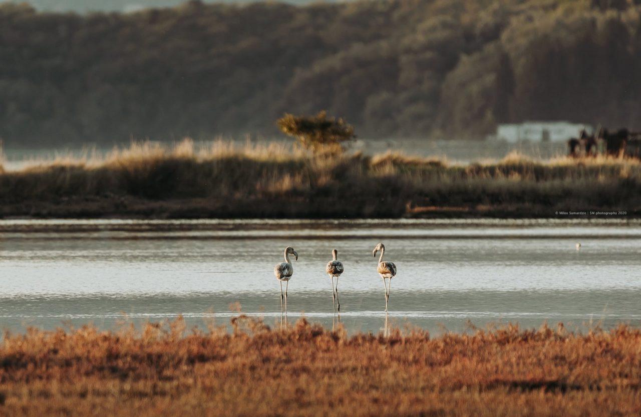 Flamingosi u Tivtu vole da poziraju