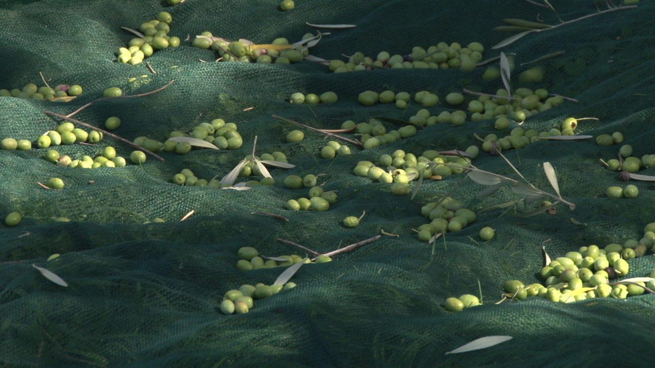 Održana prva javna berba Stare masline u Baru