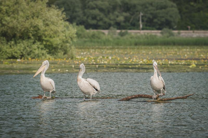 Crna Gora ove godine bogatija za 66 pelikana