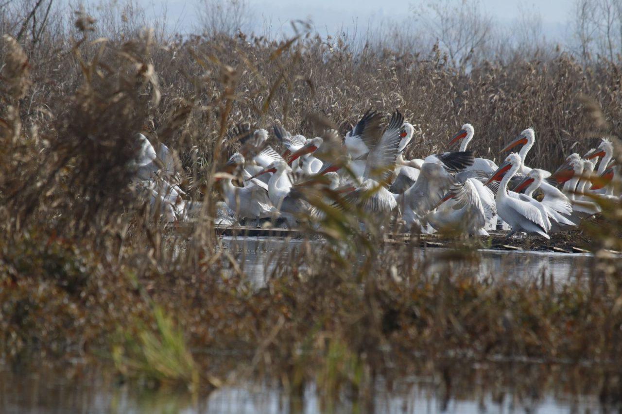 Pelikani sa Skadarskog jezera se upisali u istoriju