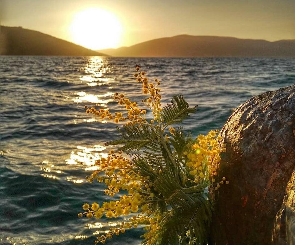 Mimoza se žuti u Novom i prkosno najavljuje ljepše dane