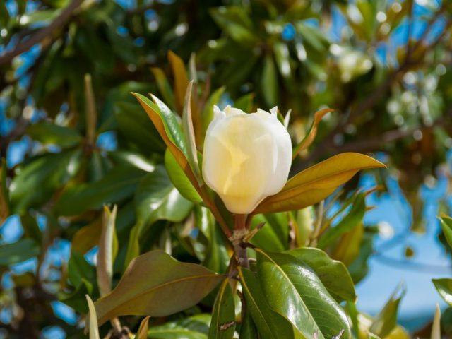Priča o magnoliji i Tivtu: Otkud najstariji cvijet u najmlađem gradu?