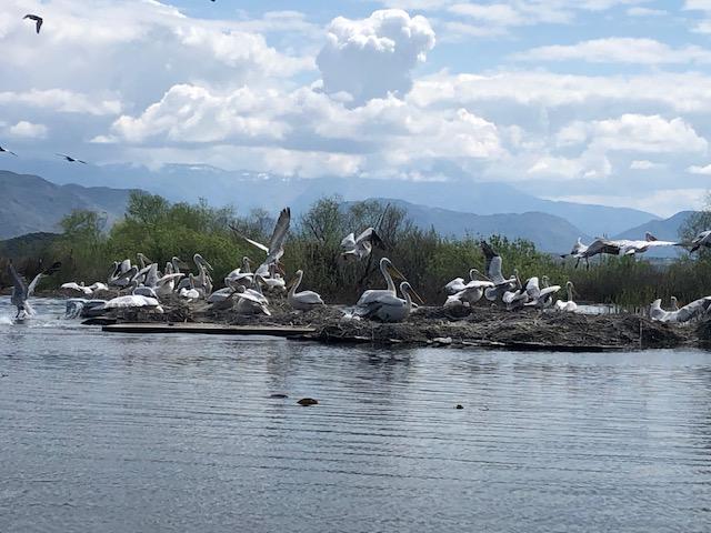 NP Skadarsko jezero: Kolonija pelikana uvećana za 150 mladih